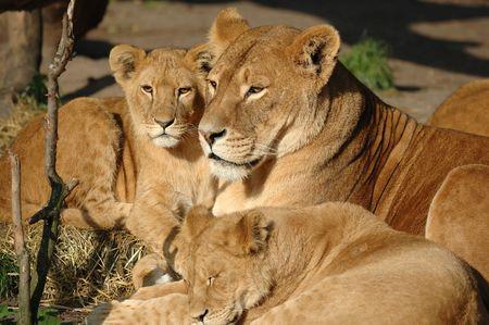 dangerous love: Lion family resting in the sun