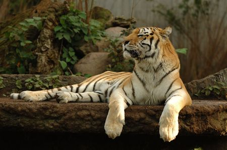 tiger cub: Tiger is resting in the shade