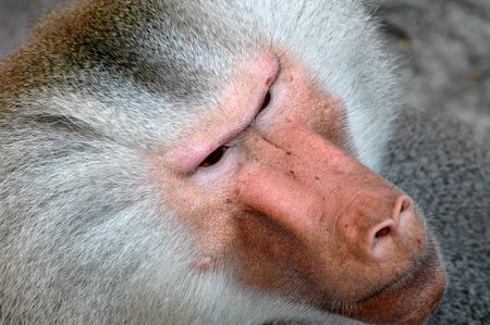 Face of a angry monkey Stock Photo - 732957