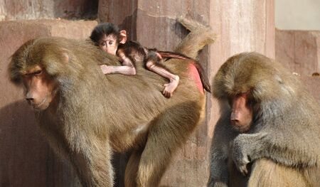 Monky family. Mother, father and newborn  Stock Photo - 732955