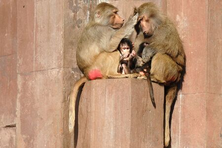 guardianship: Monky family. Mother father and  is sitting in the sun.