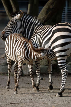 Young zebra is feding at its mother photo