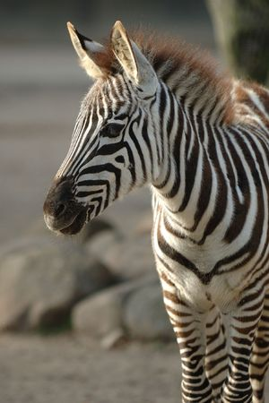 Young zebra is standing in the sun photo