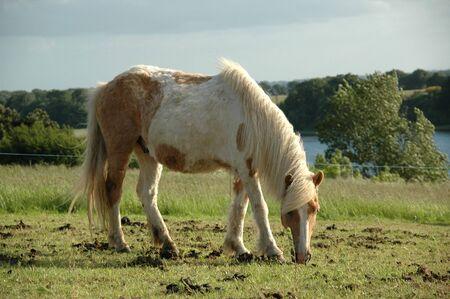 Paard is het eten van gras