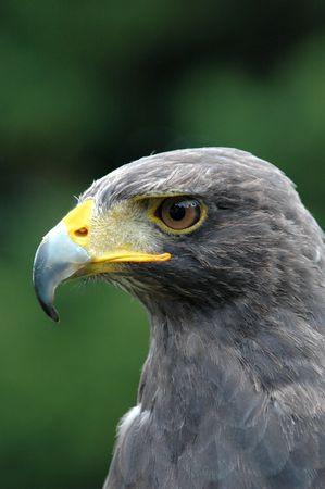 Falcon in profile