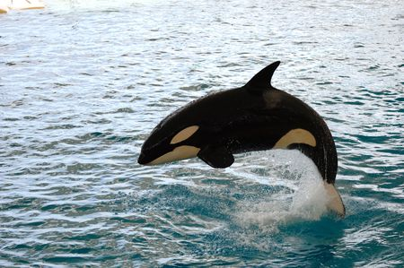 Killer whale is jumping in the water