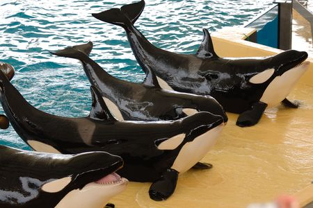 Killerwhales posing in waterpark Stock Photo - 871238