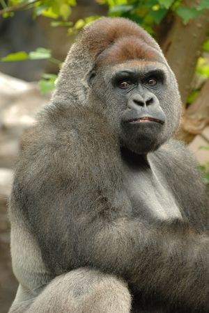 Gorilla is lokking into the camera photo