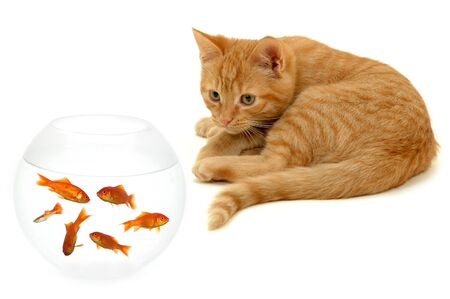 Kitten is watching fish in a fish bowl photo