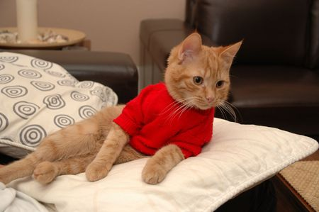 Kitten is resting on a pillow, wearing a red sweater. photo