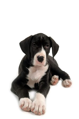 spotted dog: Resting great dane puppy on white background.