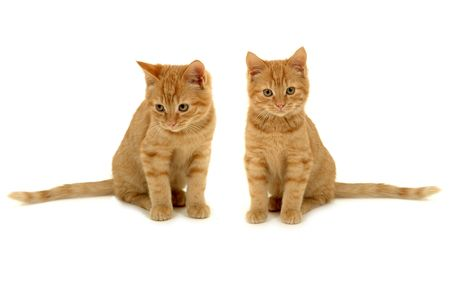 Two sweet kittens is sitting side by side on white background. photo