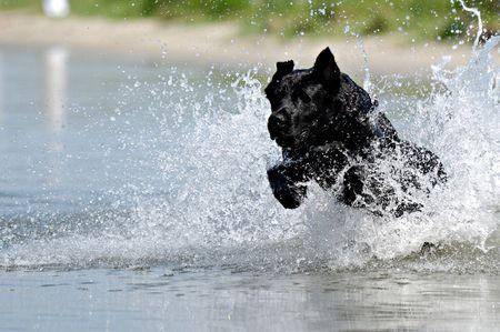 Negro es perro saltando en el agua.