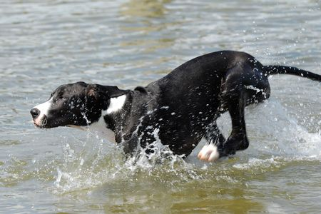 A Great Dane puppy is running in the water photo