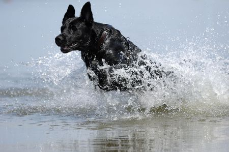 Black dog is jumping in the water photo