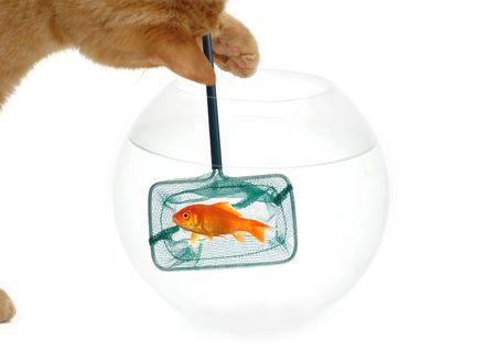 Un gato está pescando para un goldfish. Adquirido un fondo blanco limpio.