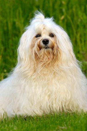 natur: Bichon Havanaise cane sta nella natura.