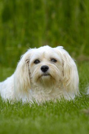 havanais: Bichon Havanais dog on green grass. Stock Photo