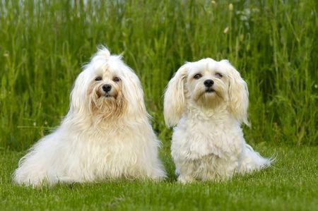 havanais: Two dogs is posing on green grass. Breed: Bichon Havanais