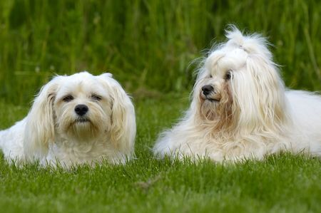 havanais: Two dogs is posing on green grass. The breed is Bichon Havanais