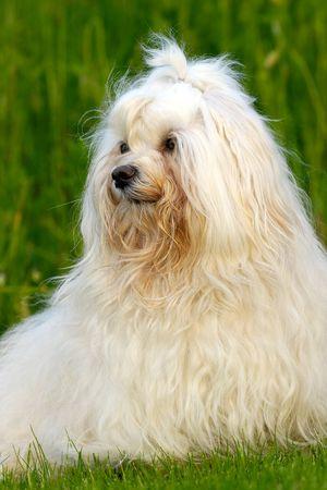 havanais: Sweet dog on green grass. (Bichon Havanais)