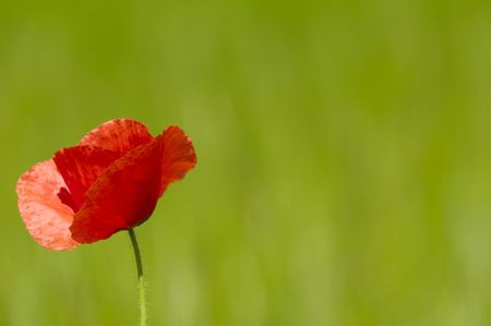 Red poppy and corn filed Stock Photo - 1132928