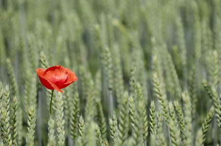 Red poppy and corn field Stock Photo - 1132929