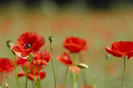 Red poppies. Some in focus and others in blur Stock Photo - 1172884