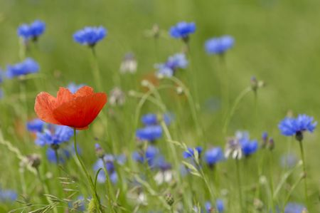 Red and blue flowers. Only the red poppy is in focus. Stock Photo - 1172885