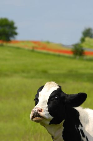 Cow with a very funny expression photo