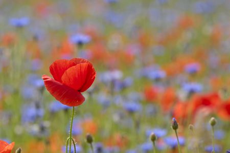 Red poppy in focus with a lot of flowers in blur as background. Stock Photo - 1180293