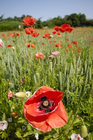 Red poppy close up and corn field photo