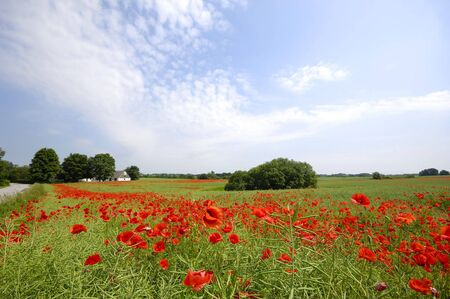 Framland with red poppies trees and blue sky photo