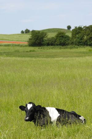 Cow resting on green field. photo
