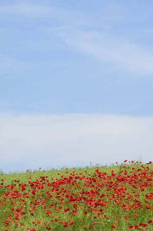 Red poppies on hill with blue and cloudy sky. photo