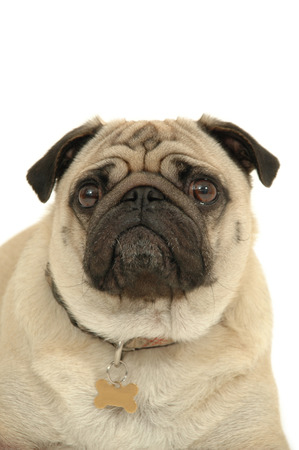 ugliness: Portrait of a pug on a white background