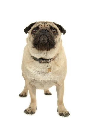 Pug is standing on a white background photo