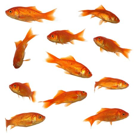 Collection of goldfish. High resolution 4000 x 4000 pixels. On clean white background. Stock Photo - 1648740