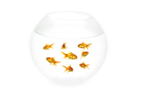 Many gold fish in a fish bowl. On clean white background Stock Photo - 1648737