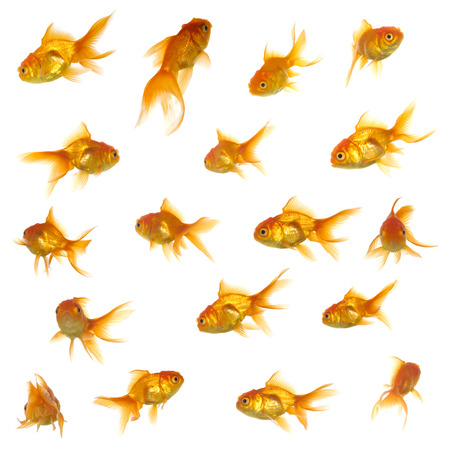 Collection of goldfish. High resolution 5000 x 5000 pixels. On clean white background. photo