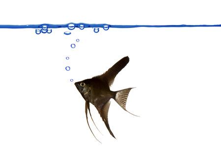 linea de flotaci�n: Un scalare negro est� nadando. L�nea de flotaci�n azul con las burbujas de aire. Foto de archivo