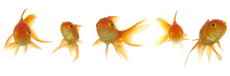 A line of goldfish is lokking strait ahead photo