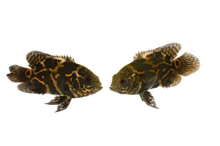 ocellatus: Two fish are looking at eachother. Taken on a clean white background. Stock Photo