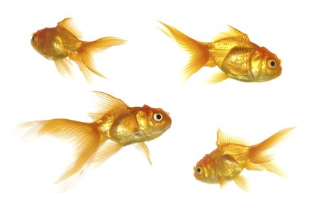 four goldfish swimming. Taken on a clean white background photo