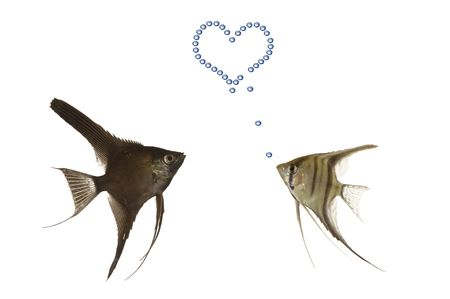 Two fish in love. One fish is making a hart with airbubbles. Stock Photo - 1768932