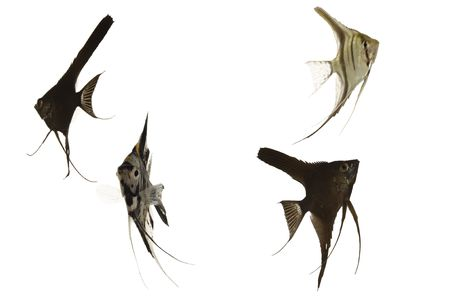 pterophyllum: Four scalar fish swimming. Taken on a clean white background.