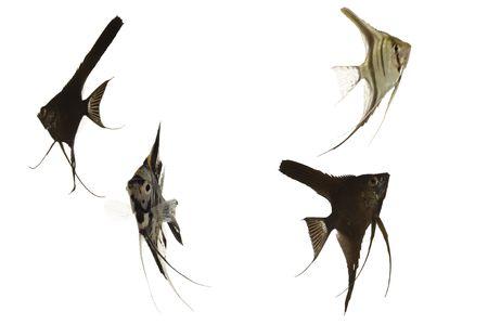 scalar: Four scalar fish swimming. Taken on a clean white background.