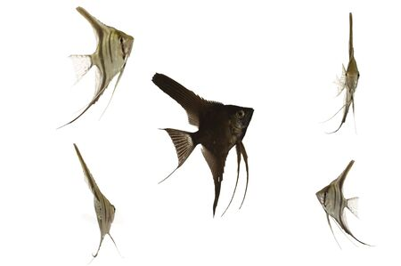 scalare: Five scalar fish swimming. Taken on a clean white background.