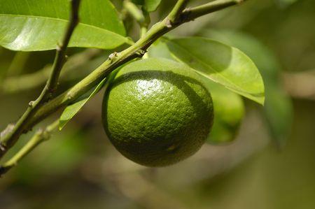 Rboles lima limón con frutas Foto de archivo - 1849809