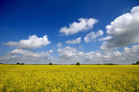 Yellow rape field with blue and cloudy sky. photo